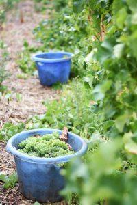 Steenberg Sauvignon Blanc Wine Grape Harvest