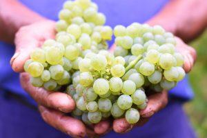 Sauvignon Blanc Wine Grapes Harvest